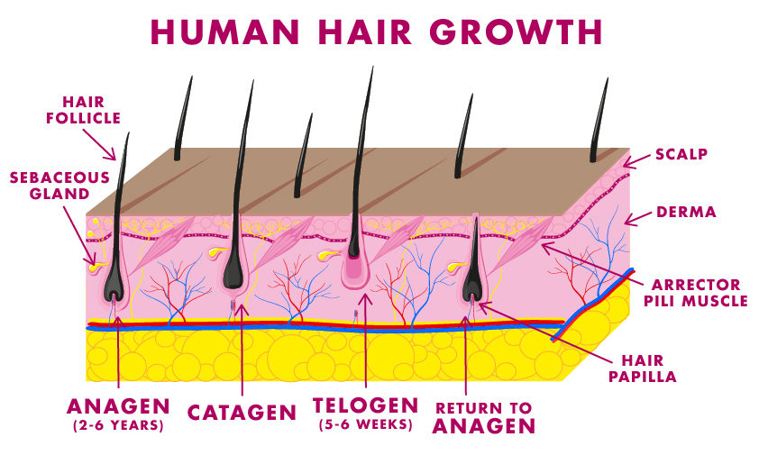 scalp diagram wiring diagramsvitamins for hair growth scalp official us hairfinity online storevitamins for hair growth scalp